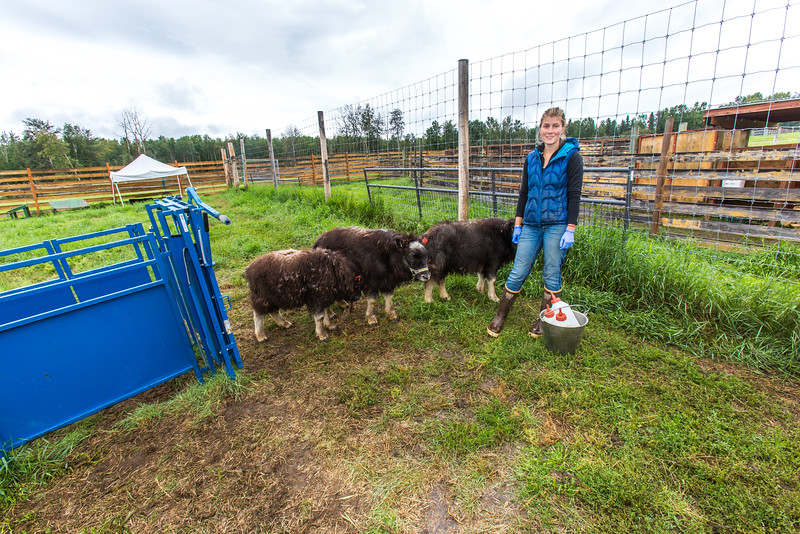 """Research technician Emma Boone finishes bottle-feeding three hungry young muskoxen at UAF's Large Animal Research Station (LARS).  <div class=""""ss-paypal-button"""">Filename: AAR-15-4608-82.jpg</div><div class=""""ss-paypal-button-end""""></div>"""