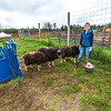 "Research technician Emma Boone finishes bottle-feeding three hungry young muskoxen at UAF's Large Animal Research Station (LARS).  <div class=""ss-paypal-button"">Filename: AAR-15-4608-82.jpg</div><div class=""ss-paypal-button-end""></div>"