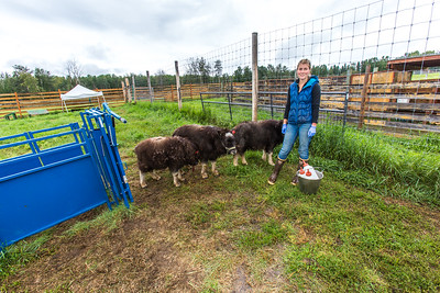Research technician Emma Boone finishes bottle-feeding three hungry young muskoxen at UAF's Large Animal Research Station (LARS).  Filename: AAR-15-4608-82.jpg