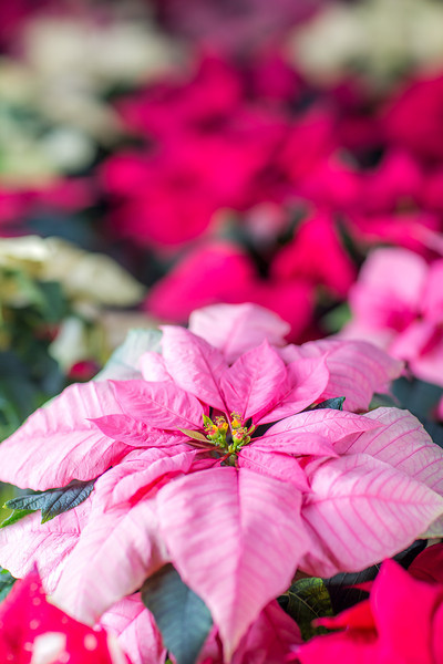 "Holiday poinsettias are grown in the SNRAS greenhouse on UAF's West Ridge. The holiday plants are distributed to various offices around campus before the winter break.  <div class=""ss-paypal-button"">Filename: AAR-12-3682-52.jpg</div><div class=""ss-paypal-button-end"" style=""""></div>"