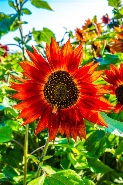"""Different varieties of sunflowers are grown under near ideal conditions in a garden plot at the SNRAS Fairbanks Experiment Farm.  <div class=""""ss-paypal-button"""">Filename: AAR-12-3494-60.jpg</div><div class=""""ss-paypal-button-end"""" style=""""""""></div>"""