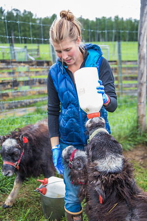 Research technician Emma Boone bottle-feeds a hungry young muskox at UAF's Large Animal Research Station (LARS).  Filename: AAR-15-4608-34.jpg