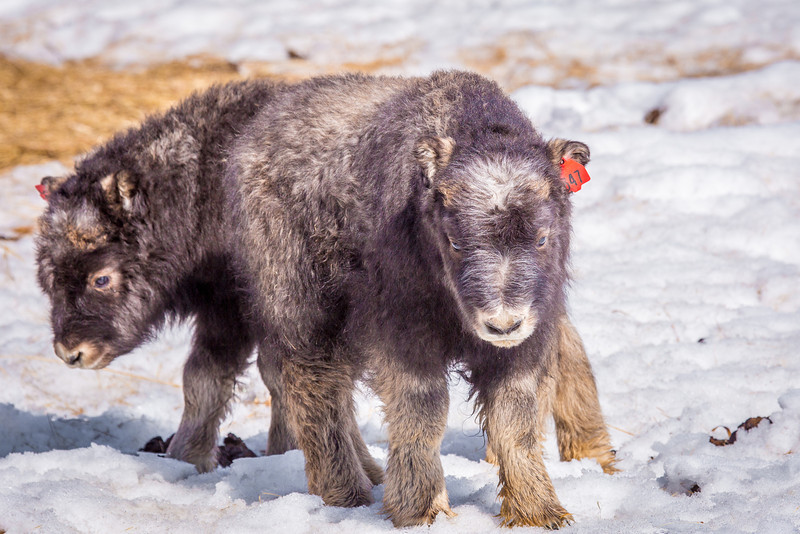"""A pair of 14-day-old muskoxen stay close to their mothers at UAF's Large Animal Research Station.  <div class=""""ss-paypal-button"""">Filename: AAR-13-3821-187.jpg</div><div class=""""ss-paypal-button-end"""" style=""""""""></div>"""