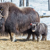 "A 14-day-old muskox stays close to its mother at UAF's Large Animal Research Station.  <div class=""ss-paypal-button"">Filename: AAR-13-3821-39.jpg</div><div class=""ss-paypal-button-end"" style=""""></div>"