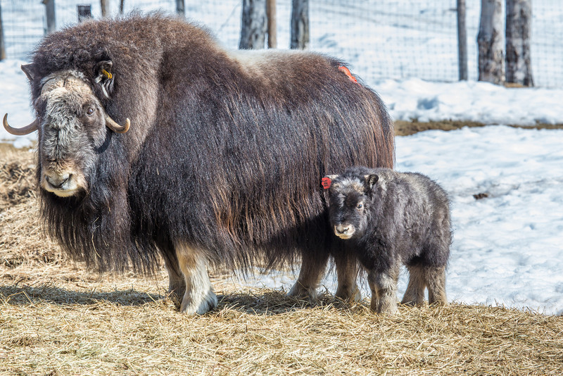 """A 14-day-old muskox stays close to its mother at UAF's Large Animal Research Station.  <div class=""""ss-paypal-button"""">Filename: AAR-13-3821-39.jpg</div><div class=""""ss-paypal-button-end"""" style=""""""""></div>"""