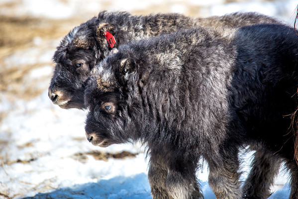 """A pair of 14-day-old muskoxen stay close to their mothers at UAF's Large Animal Research Station.  <div class=""""ss-paypal-button"""">Filename: AAR-13-3821-215.jpg</div><div class=""""ss-paypal-button-end"""" style=""""""""></div>"""