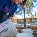 Nicole Dunham, a coordinator with OneTree Alaska, empties birch sap collected from a tree behind the chancellor's residence on the UAF campus. OneTree Alaska is an education and outreach pro ...