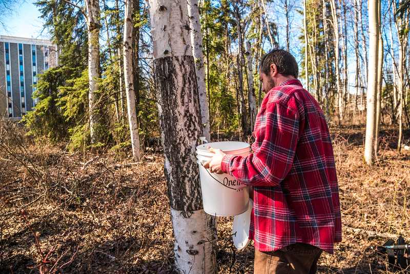 """Shaun Johnson, affectionately known as the """"Sugar Master"""" with OneTree Alaska, collects birch sap collected from a tree near the Moore-Bartlett-Skarland residence hall complex on the Fairbanks campus. OneTree Alaska is an education and outreach program of the University of Alaska Fairbanks School of Natural Resources and Extension.  <div class=""""ss-paypal-button"""">Filename: AAR-16-4874-051.jpg</div><div class=""""ss-paypal-button-end""""></div>"""