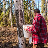 "Shaun Johnson, affectionately known as the ""Sugar Master"" with OneTree Alaska, collects birch sap collected from a tree near the Moore-Bartlett-Skarland residence hall complex on the Fairbanks campus. OneTree Alaska is an education and outreach program of the University of Alaska Fairbanks School of Natural Resources and Extension.  <div class=""ss-paypal-button"">Filename: AAR-16-4874-051.jpg</div><div class=""ss-paypal-button-end""></div>"