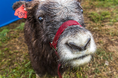 A curious young muskox inspects the camera at UAF's Large Animal Research Station (LARS).  Filename: AAR-15-4608-44.jpg