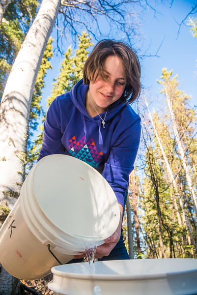 """Nicole Dunham, a coordinator with OneTree Alaska, empties birch sap collected from a tree behind the chancellor's residence on the UAF campus. OneTree Alaska is an education and outreach program of the University of Alaska Fairbanks School of Natural Resources and Extension.  <div class=""""ss-paypal-button"""">Filename: AAR-16-4874-023.jpg</div><div class=""""ss-paypal-button-end""""></div>"""