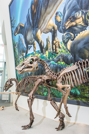 A mounted dinosaur skeleton display of Ugrunaaluk kuukpikensis, an arctic duck-billed hadrosaur, stands near the entrance of the University of Alaska Museum of the North.  Filename: AAR-16-4890-82.jpg