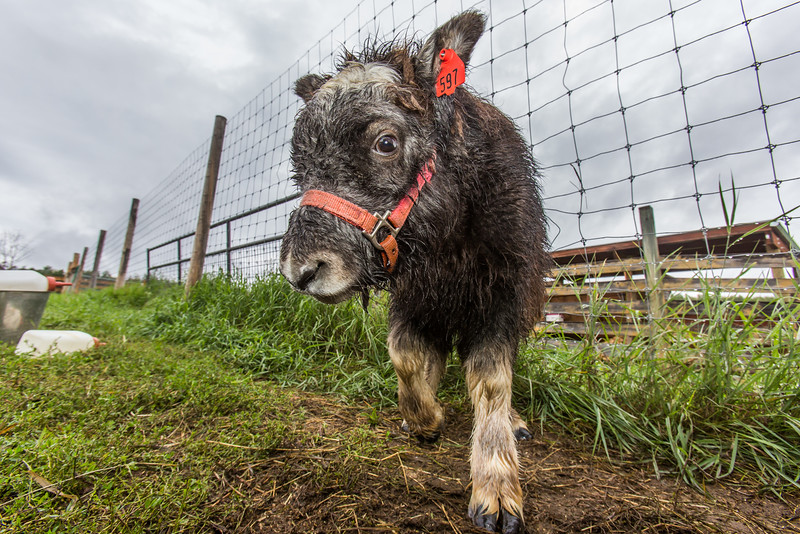 "A curious young muskox approaches the camera at UAF's Large Animal Research Station (LARS).  <div class=""ss-paypal-button"">Filename: AAR-15-4608-64.jpg</div><div class=""ss-paypal-button-end""></div>"