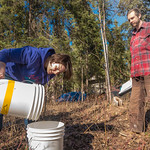 Nicole Dunham and Shaun Johnson with OneTree Alaska collect birch sap from trees behind the chancellor's residence on the UAF campus. OneTree Alaska is an education and outreach program of t ...