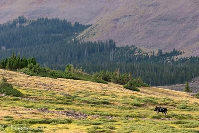 Morning Moose in upper Lakeshore Basin.