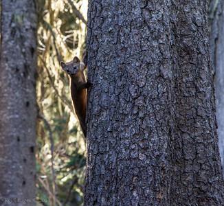 American marten or American pine marten (Martes americana)