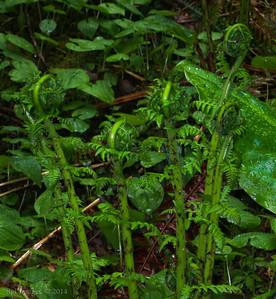 Fiddle head ferns.