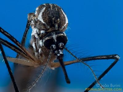 Aedes aegpypti (Culicidae)