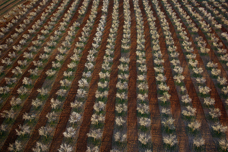 Blossom, soil colour and ploughing regiment the almond trees in Almeria, Spain.