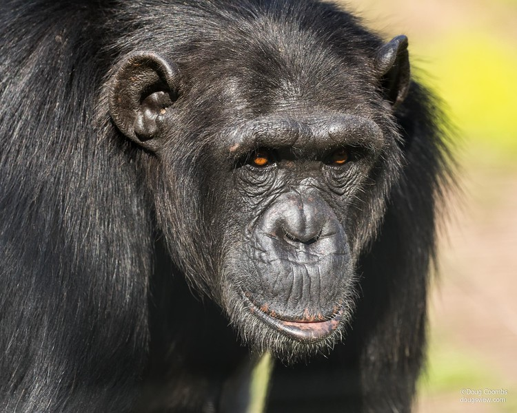 Jane Goodall Chimpanzee Sanctuary