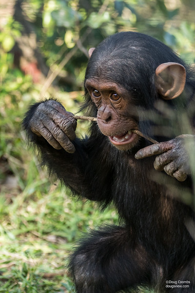 Jane Goodall Chimpanzee Sanctuary