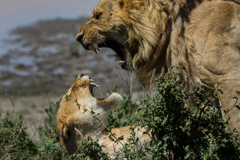 Lion mating pair
