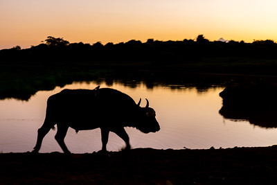 Cape Buffalo at Sunrise