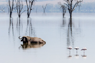 Cape Buffalo and Flamingoes