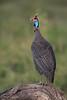 Helmeted Guinea Fowl calling
