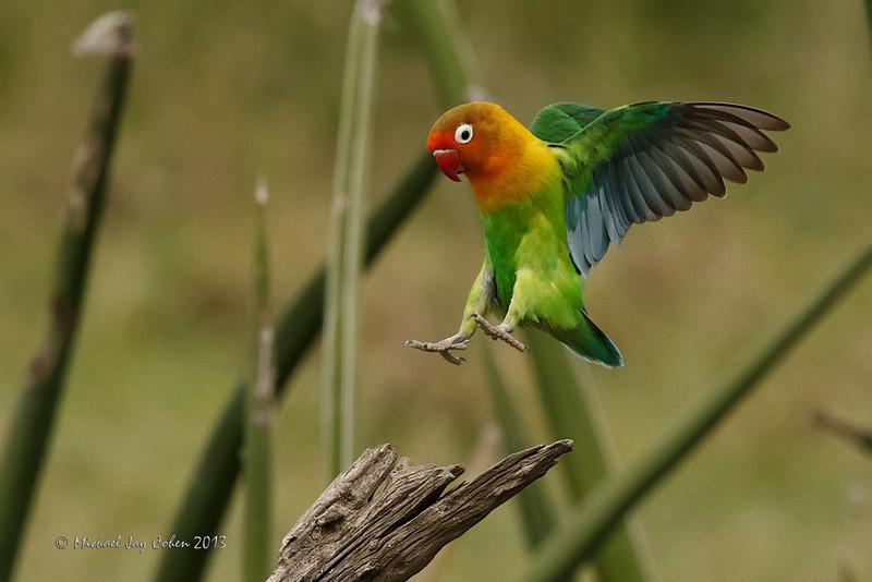 Landing Lovebird
