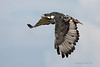 Augur Buzzard in flight
