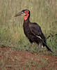 Southern Crowned Hornbill with prey
