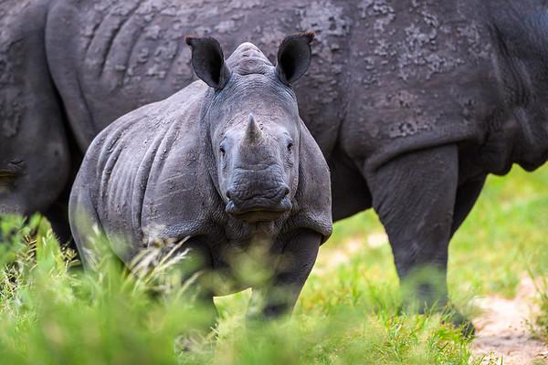 1 year old rhino-'Kalahari'