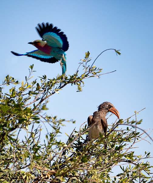 Lilac-breasted roller and African hornbill