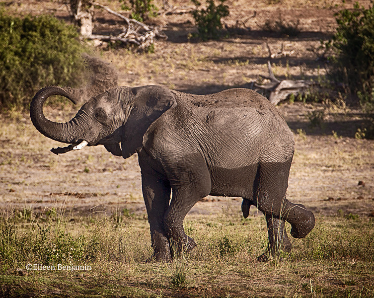 Elephnt blowing dirt on himself - Chobe National Park