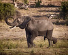 Elephnt blowing dirt on himself - Chobe National Park
