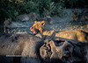 Lioness after elephant kill
