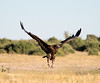 Vulture arriving at  Elephant Kill