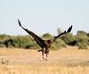 Vulture arriving at  Elephant Kill