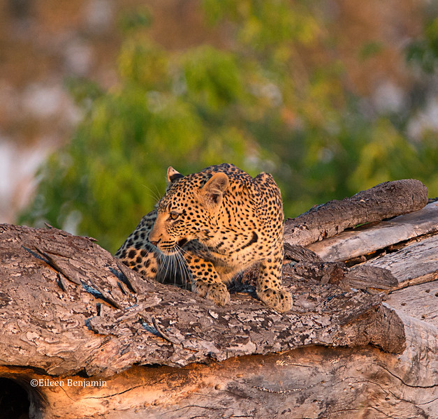 Young leopard at night