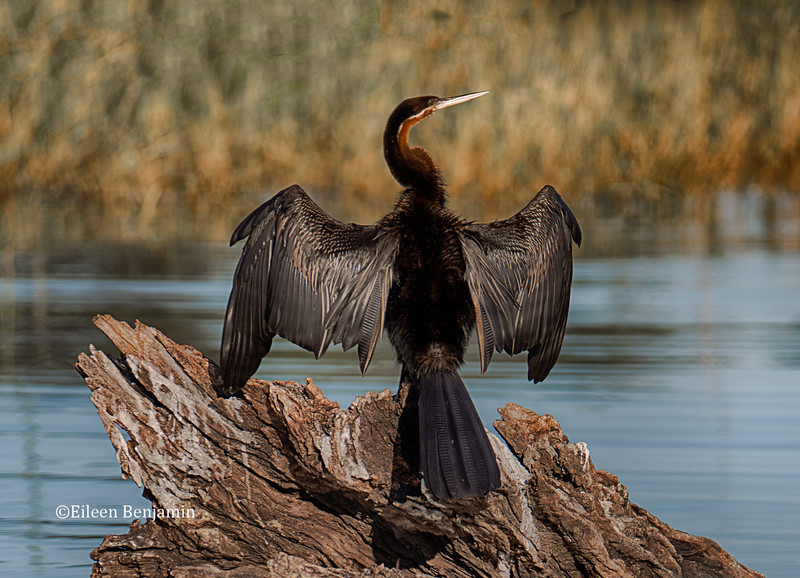 African Darter or Snake Bird
