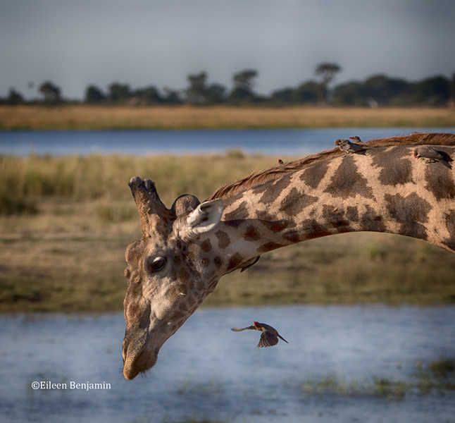Giraffe and Red-billed Oxpeckers eating the tics and other bugs