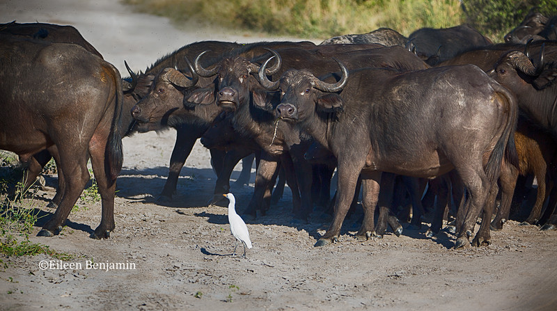Cape Buffalo and Cow Egret - Chobe National Park - Cape Buffalo