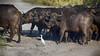 Cape Buffalo and Cow Egret - Chobe National Park - Cape Buffalo