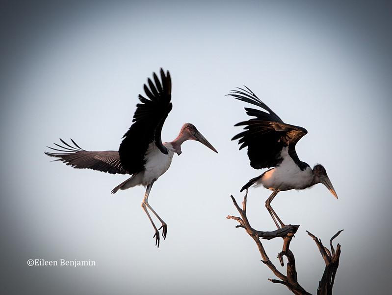 Maribou Storks