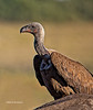 White Backed Vulture arriving at elephant kill