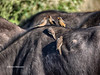 Red-billed Oxpeckers on top of water buffalo - Chobe National Park - Cape Buffalo