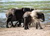 Elephant Throwing Dust