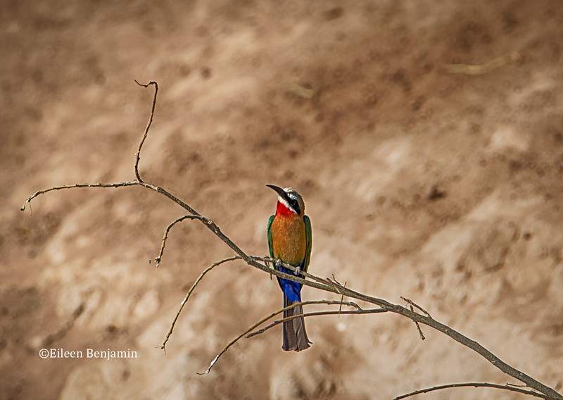 White fronted bee eater -Chobe National Park