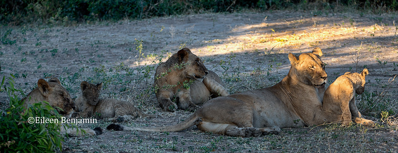 Lioness and cubs after elephant kill